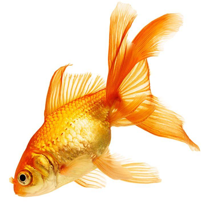 Drawn Goldfish Golden Fish 2