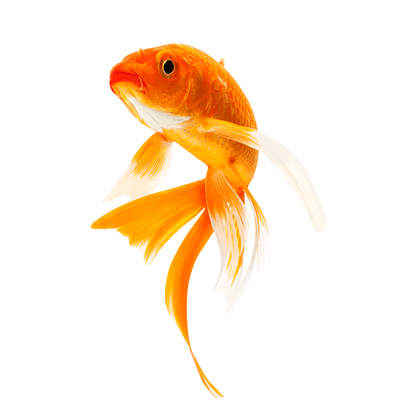 Koi Fish PNG HD - 127792