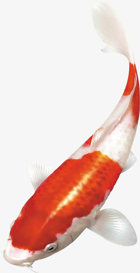 Koi Fish PNG HD - 127781
