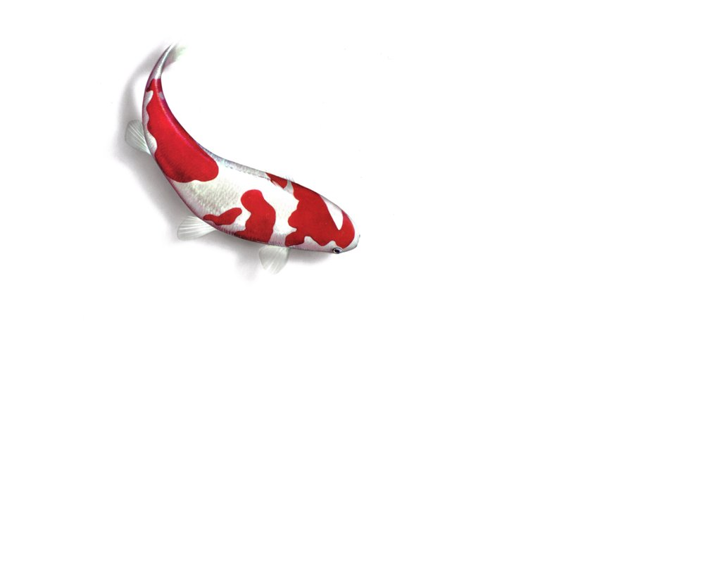 Koi Fish PNG HD - 127783