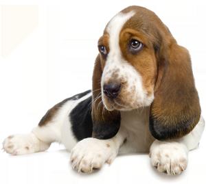 Hieron koiria omissa rauhallisissa tiloissa Kellokoskella, kotikäyntejä  isommille porukoille. Myös ilta- ja viikonloppuaikoja. - Koira PNG