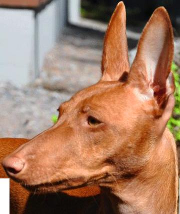Valitettavasti ei ole olemassa koirarotua tai koirayksilöä, jossa ei ole  allergeeneja. Niin kauan kuin koirassa on nahka, se hilseilee sekä koirasta  erittyy PlusPng.com  - Koira PNG