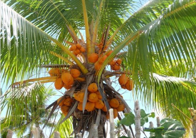 Kokospalme - Kokospalme PNG