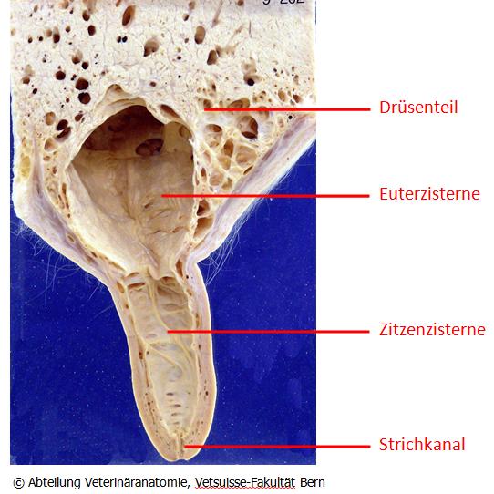 Anatomischer Schnitt eines Kuheuters - Kuheuter PNG
