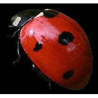 Ladybug PNG - 12573