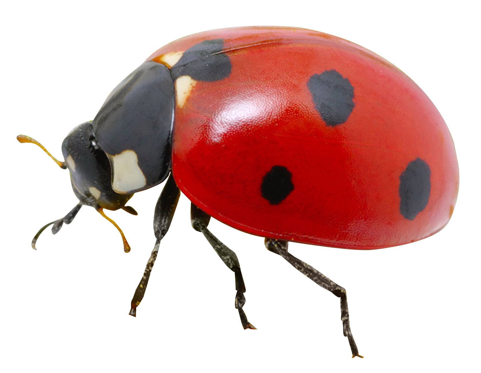 Ladybug PNG Transparent Image - Ladybug PNG