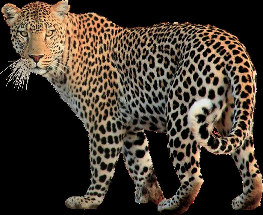 Leopard Transparent PNG Image - Leopard Face PNG
