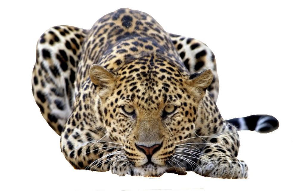 Leopard PNG - 6335