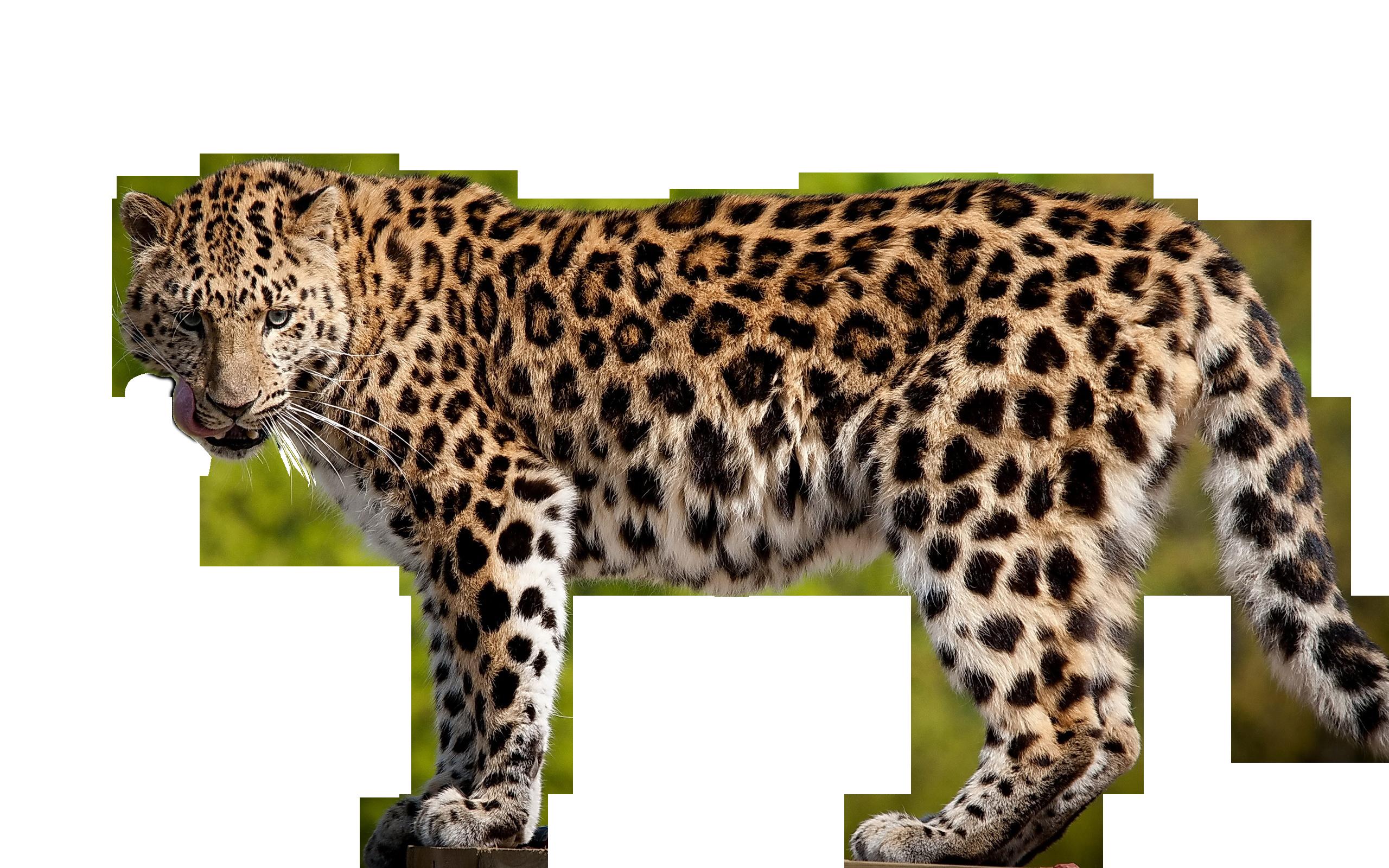 Leopard PNG - 6344