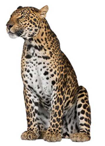 Leopard PNG - 6330