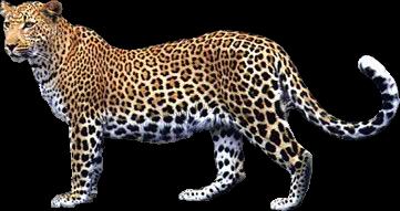 Leopard PNG - 6331