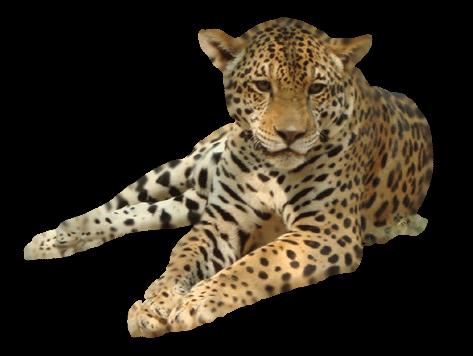 Leopard PNG - 6336