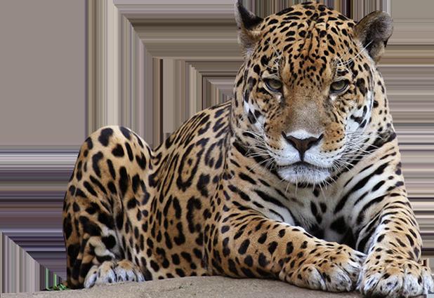 Leopard PNG - 6343