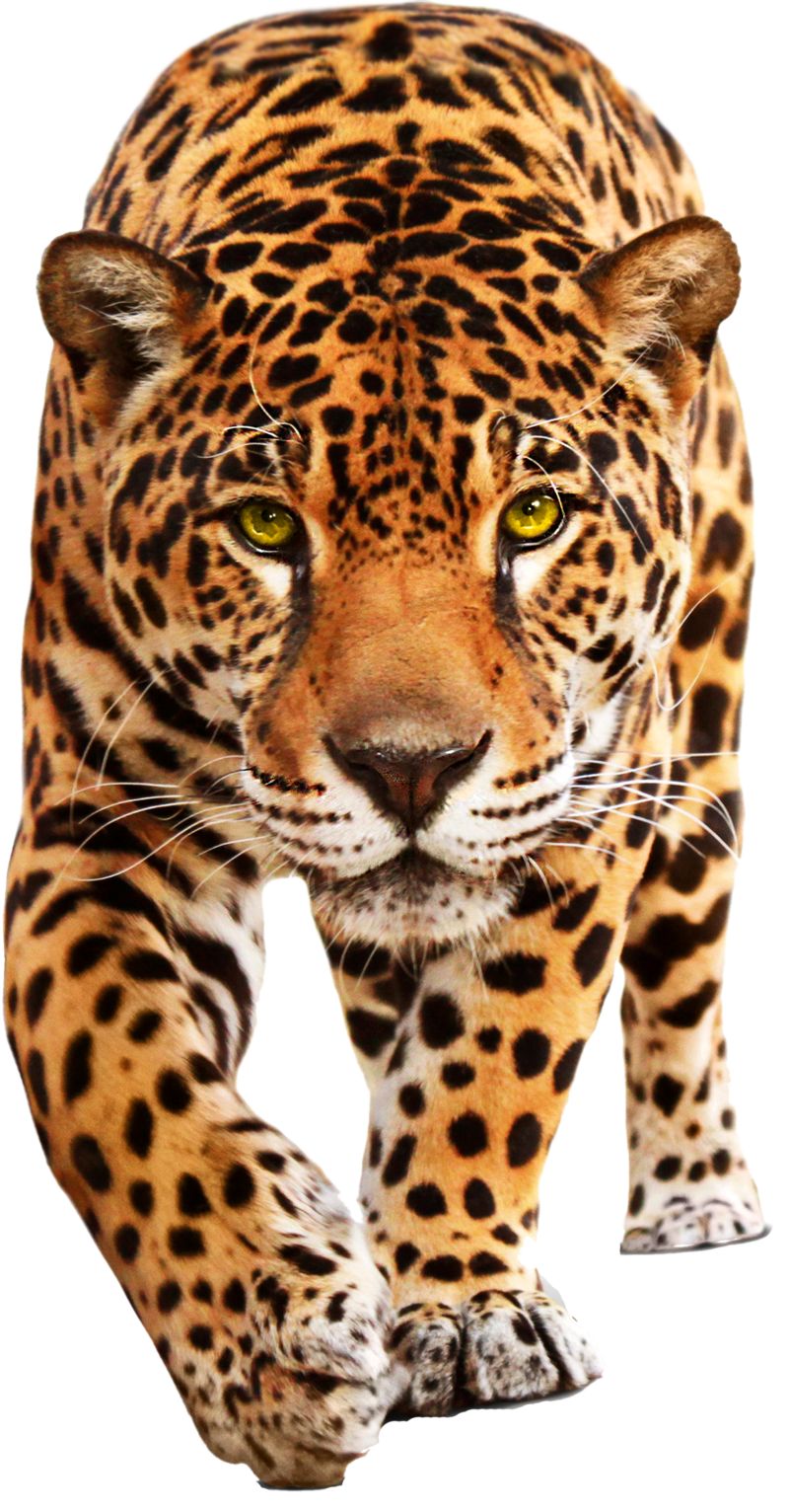 Leopard PNG - 6333