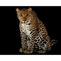 Leopard PNG - 6332