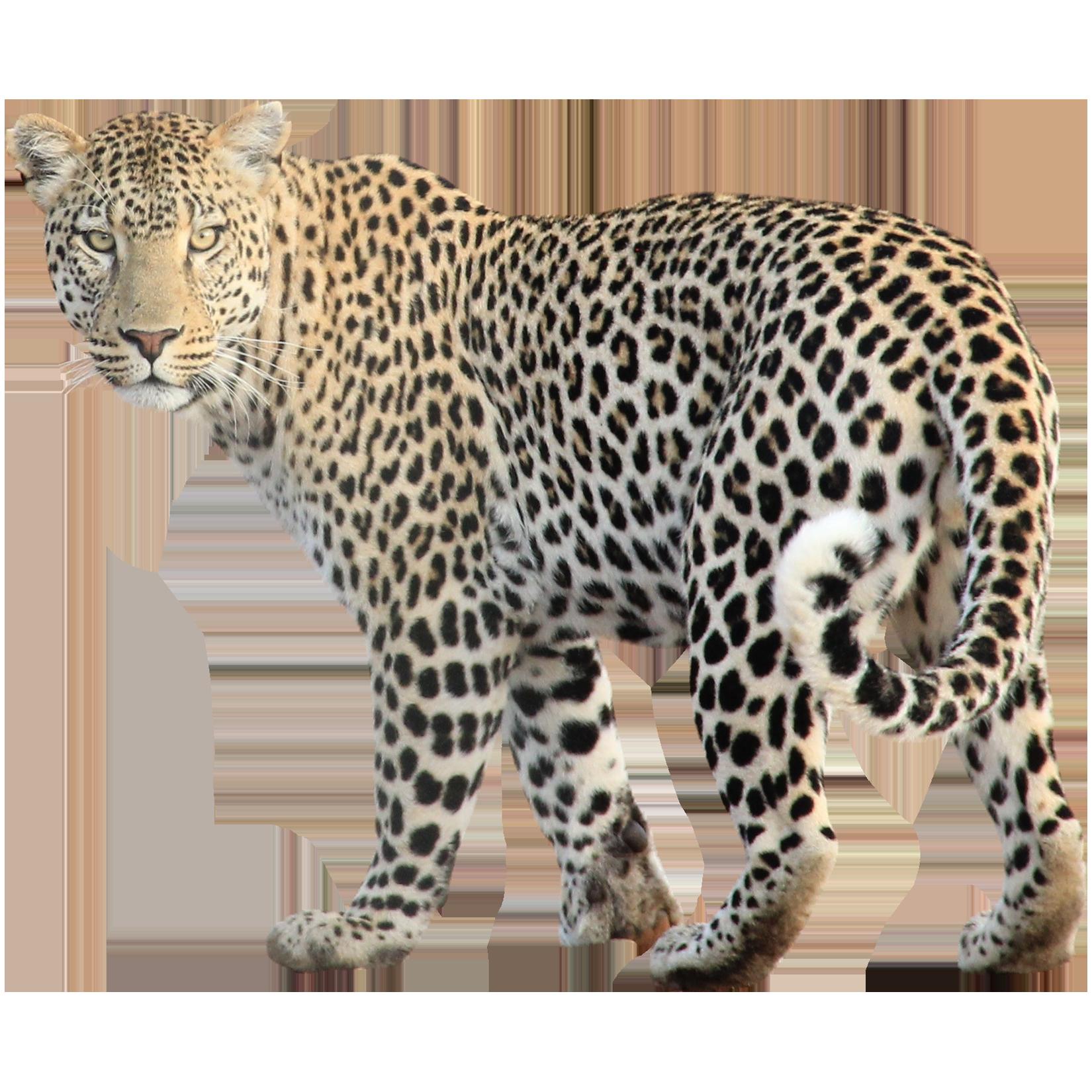 Leopard PNG HD