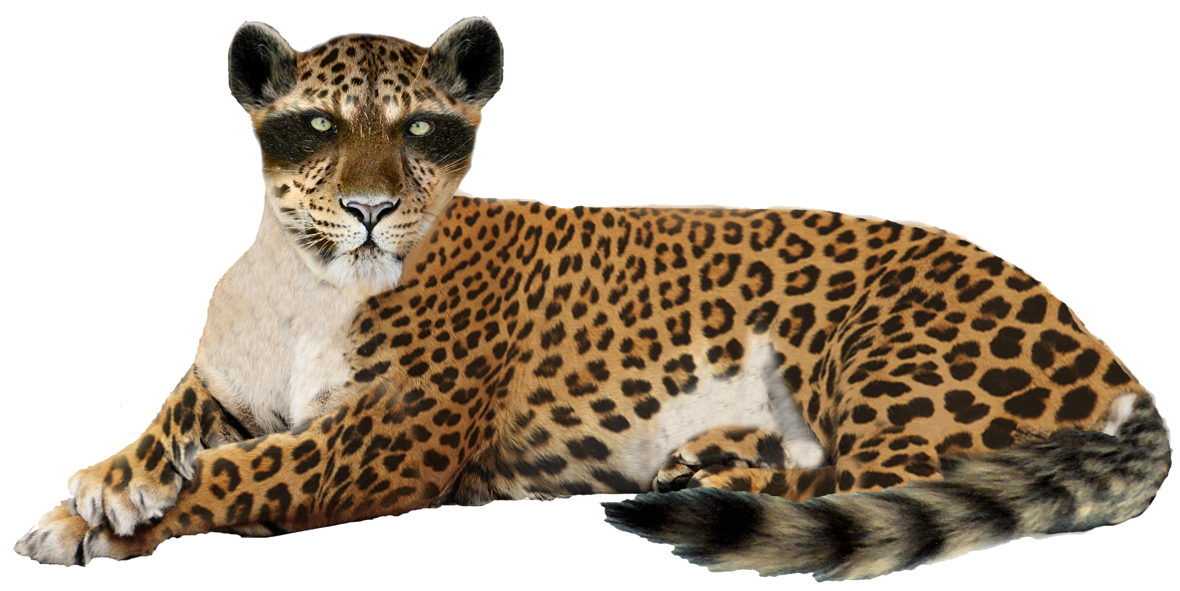 Leopard PNG - 6337