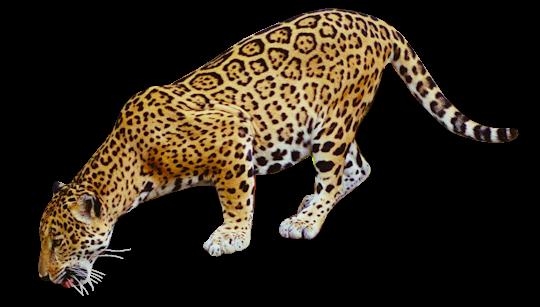 Leopard PNG - 24782