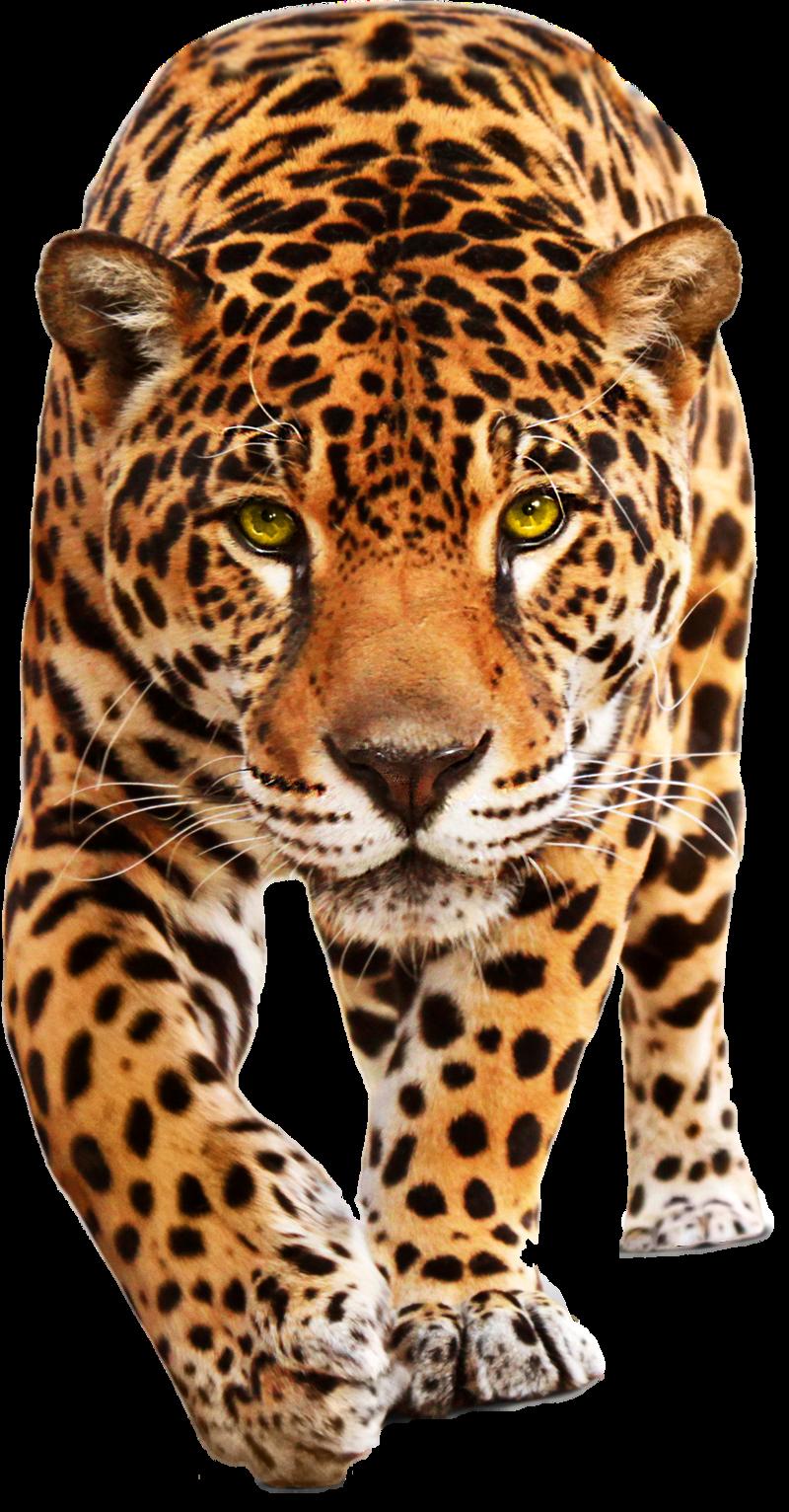 Leopard PNG - 24779