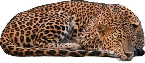 Leopard PNG - 24788