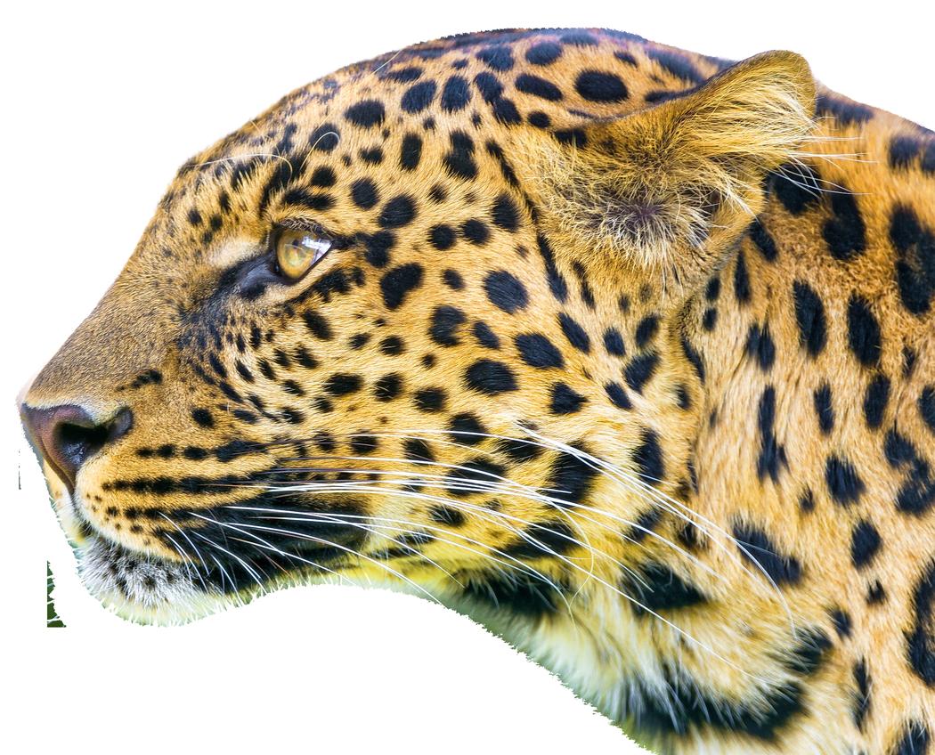 Leopard PNG - 6339