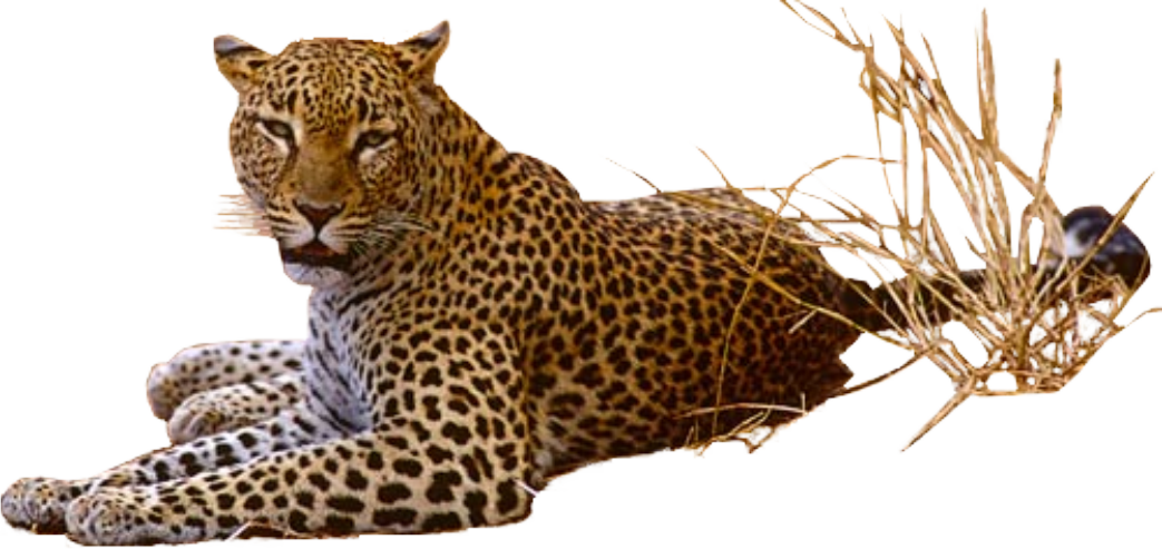 Leopard PNG - 6340