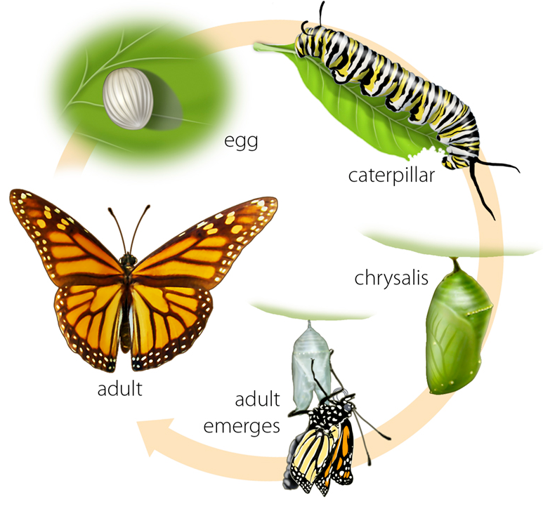 Butterfly life cycle. Put on desks as a reference until the test. - Life Cycle Of A Butterfly PNG