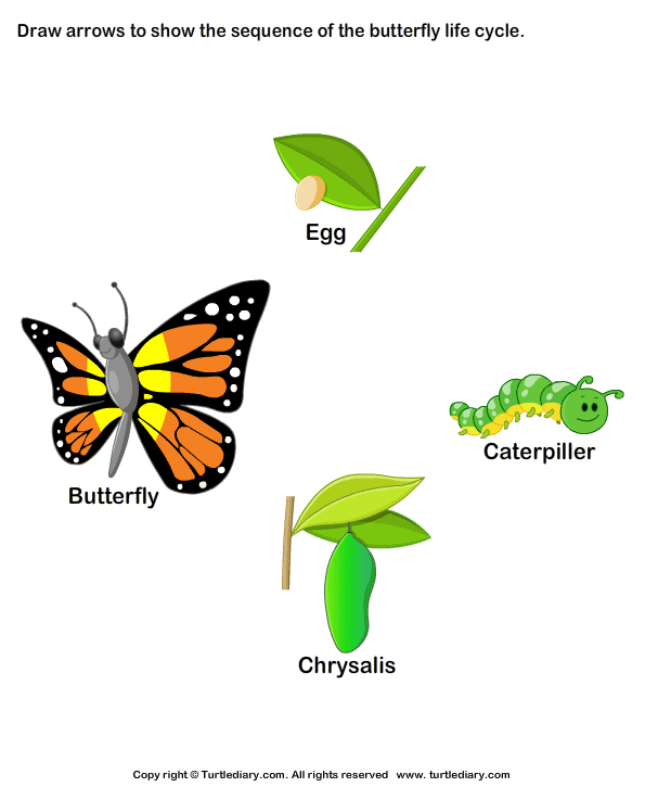 Sequence the Stages of Butterfly Life Cycle - Life Cycle Of A Butterfly PNG