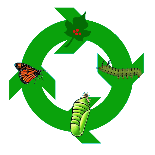 The life cycle of a butterfly PlusPng.com  - Life Cycle Of A Butterfly PNG