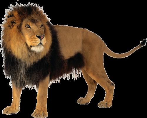 Aslan PNG Resimleri, Kaplan PNG Resimleri, Vahşi Aslan ve Kaplan PNG  Resimleri - Lion And Den PNG