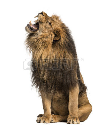 Lion roaring, sitting, Panthera Leo, 10 years old, isolated on white Stock - Lion Assis PNG