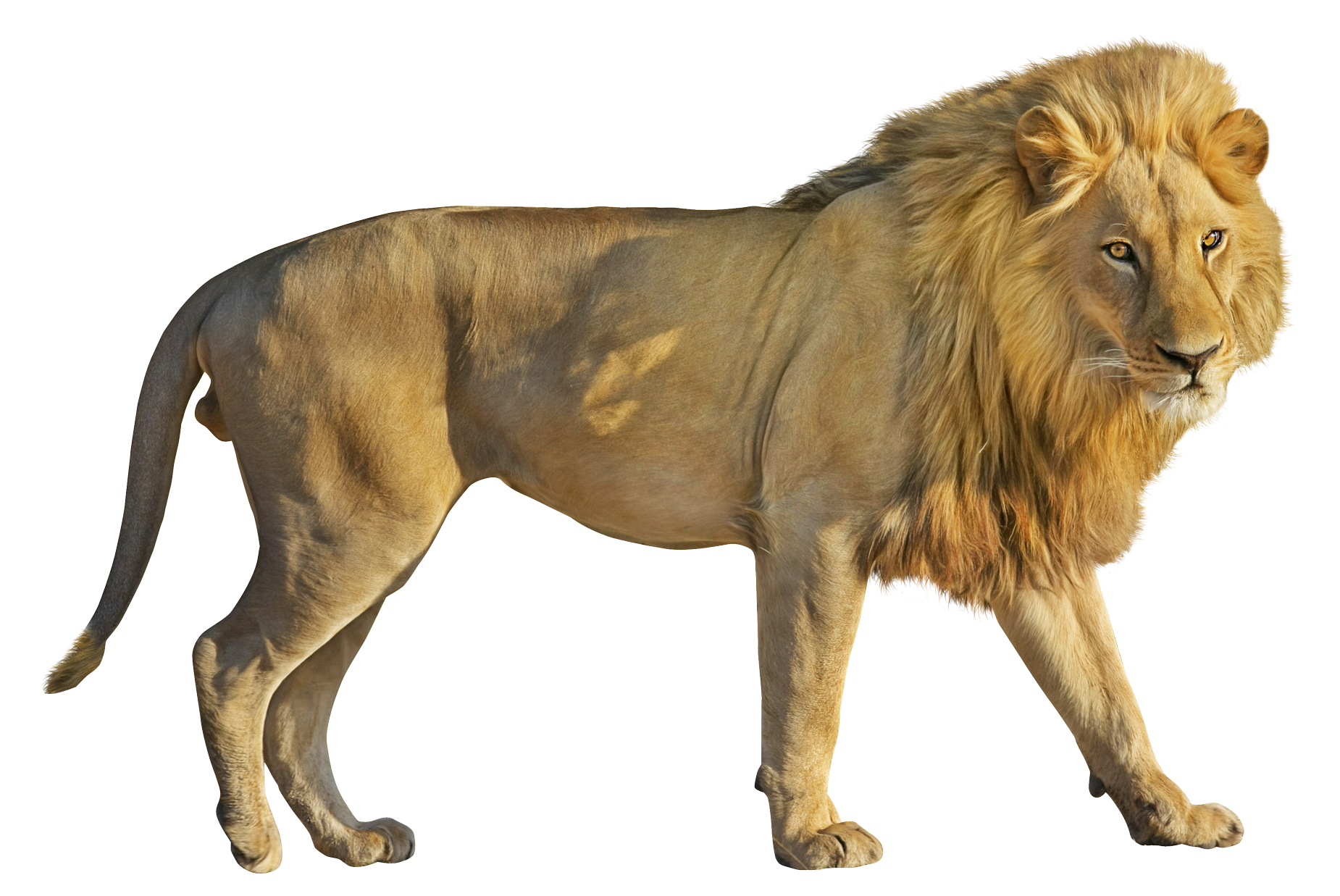 Lion HD PNG-PlusPNG.com-1850 - Lion HD PNG