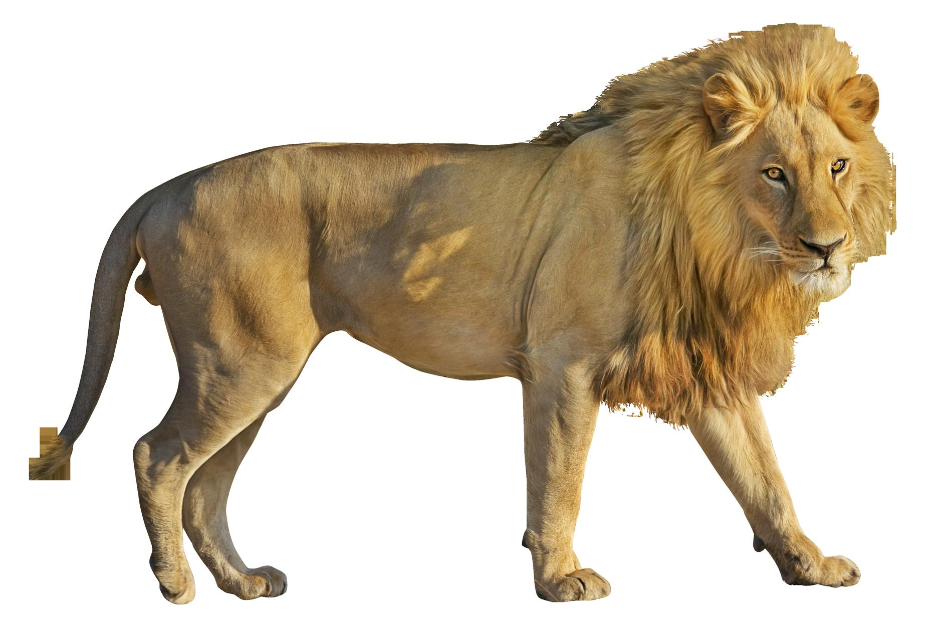 Lion HD PNG-PlusPNG.com-1850 - Lion HD PNG