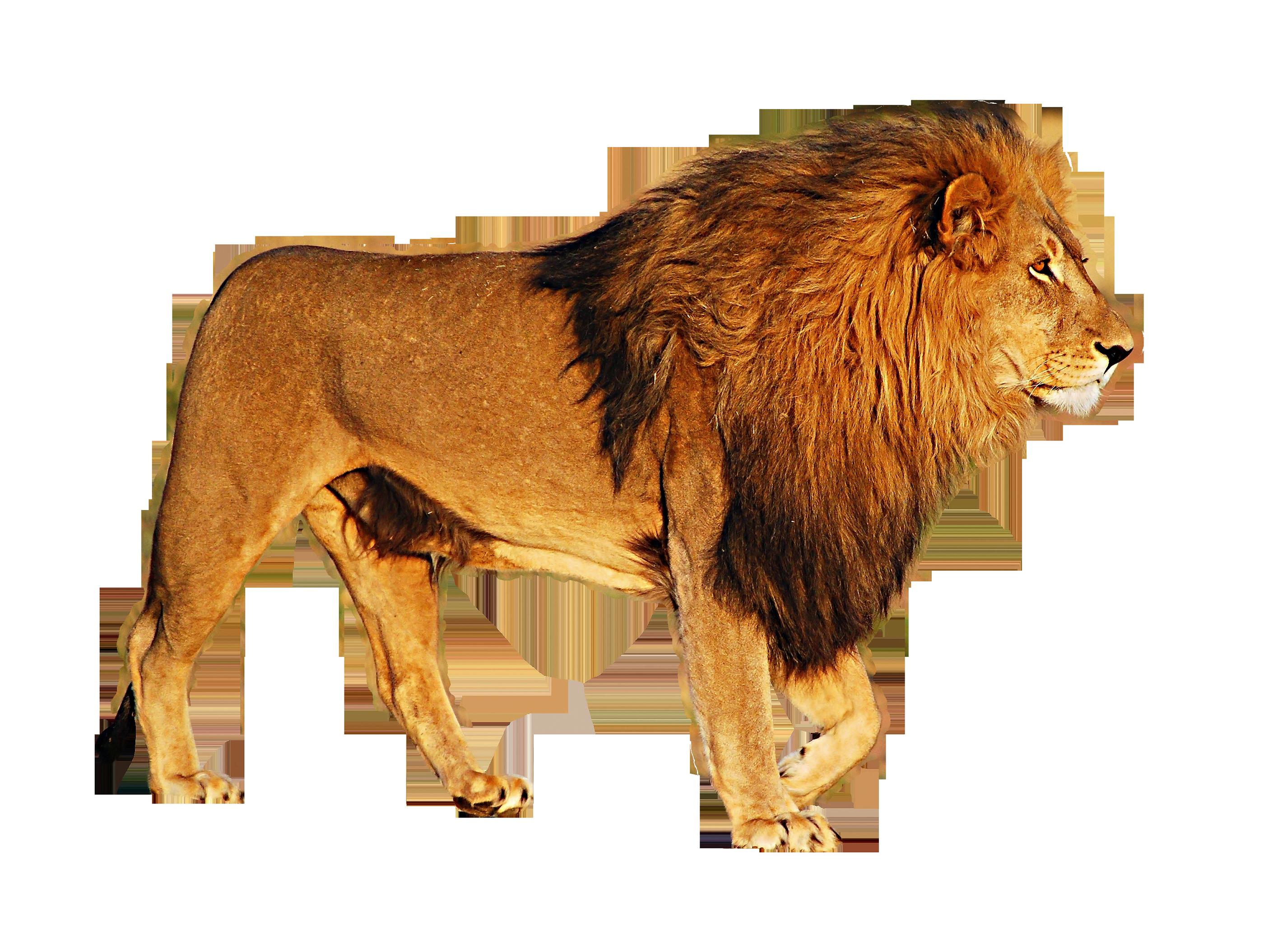 Lion HD PNG-PlusPNG.com-2800