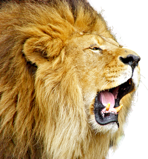 Download Lion Roar PNG image