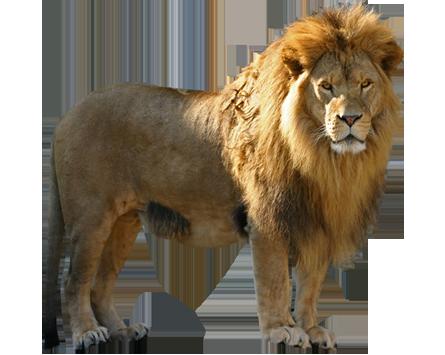 Lion HD PNG - 90797