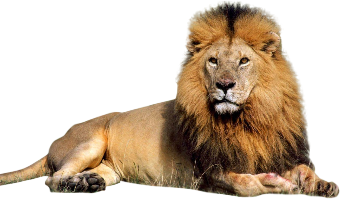 Lion HD PNG
