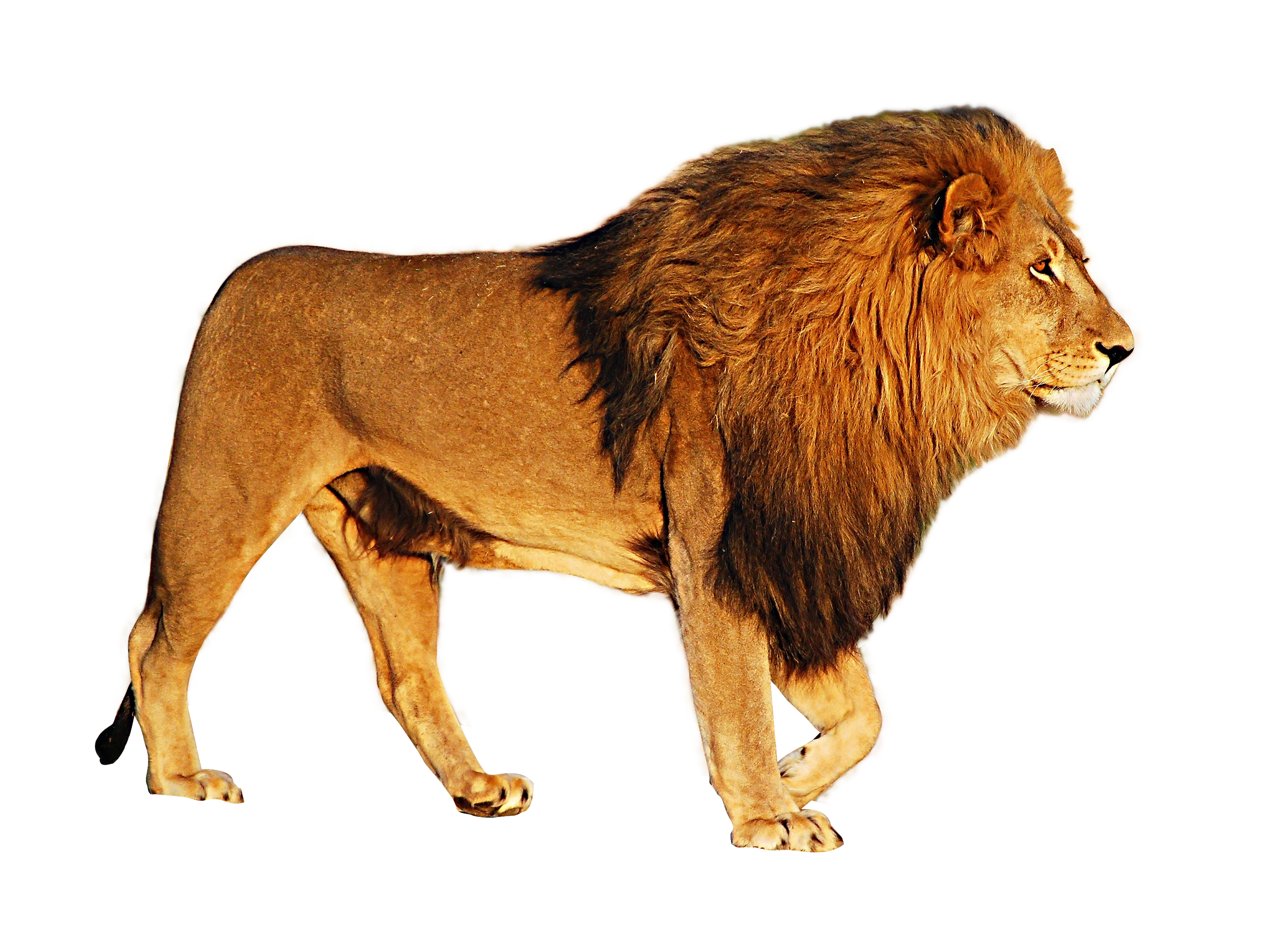 PlusPNG - Lion PNG