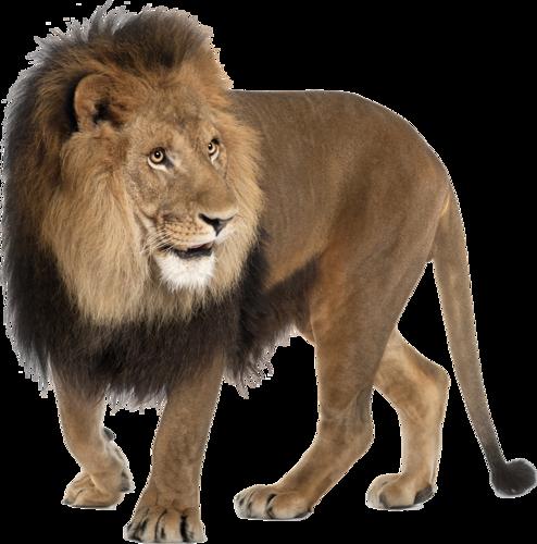Lion PNG - Lion PNG