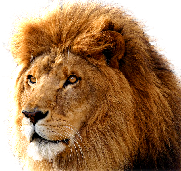 Lion PNG image, free image download, picture, lions - Lion PNG