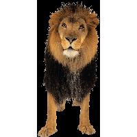 Lion PNG - 26939