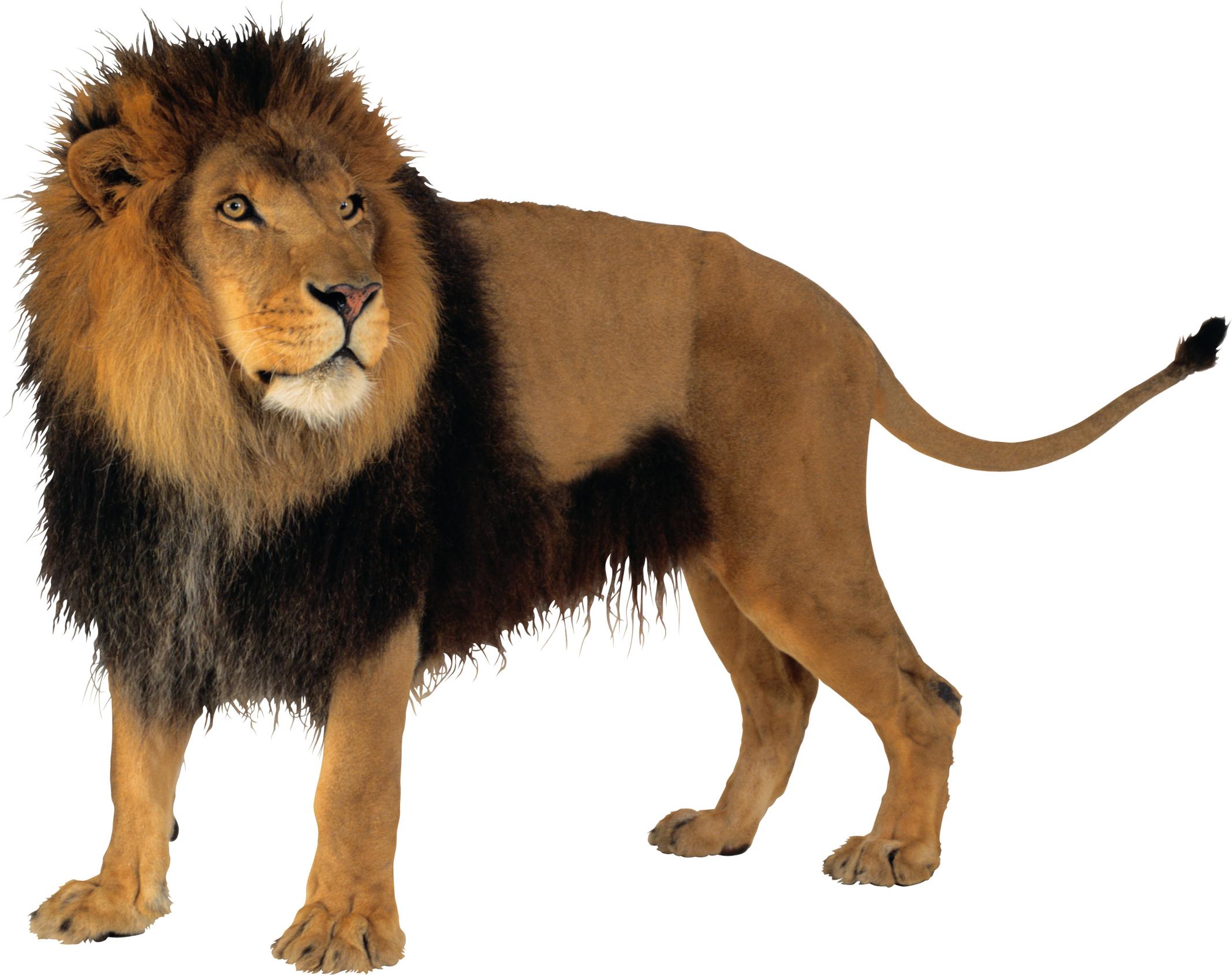 Lion PNG Transparent image