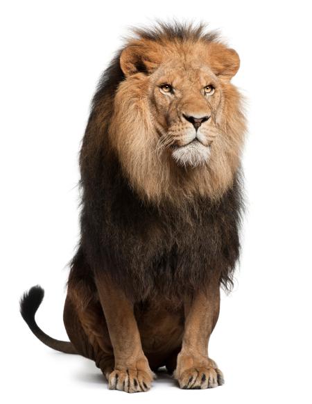 Lion PNG - 26940