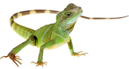 Lizard HD PNG
