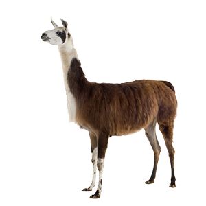 Llama PNG HD - 127427