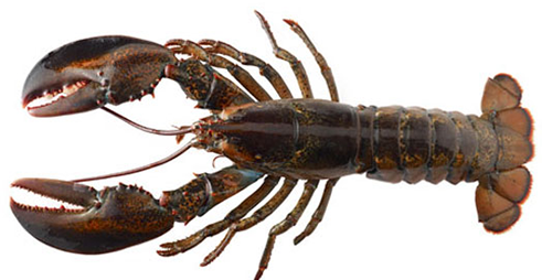 live Maine lobsters - Lobster HD PNG