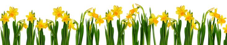 Lots of Daffodils - Daffodils PNG