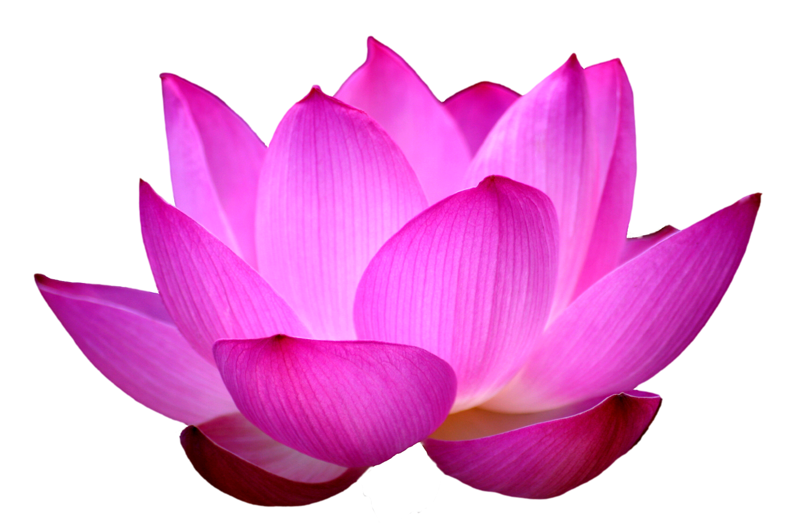 Lotus-Flower by IdunaHayaPhot