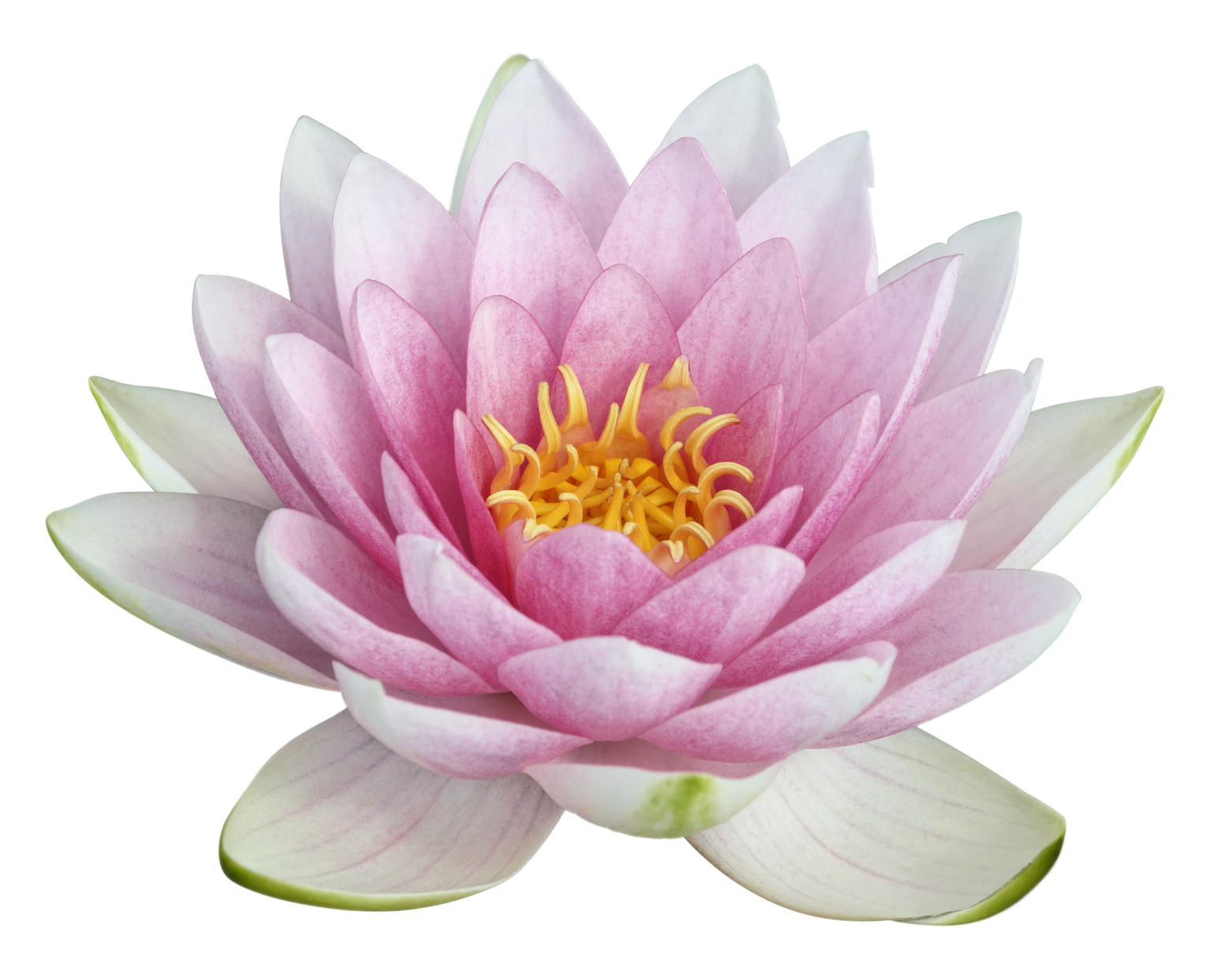 Lotus flower png hd transparent lotus flower hdg images pluspng for pluspng lotus flower png hd mightylinksfo