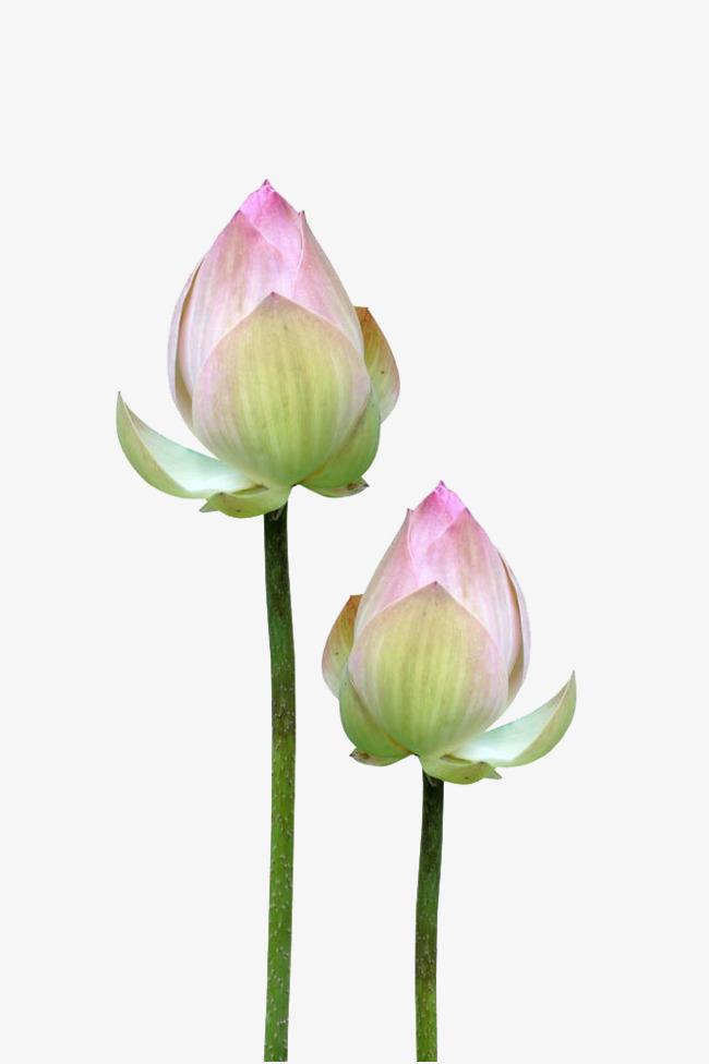 Lotus flower buds, In Kind, Budding Free PNG Image - Lotus Flower PNG HD